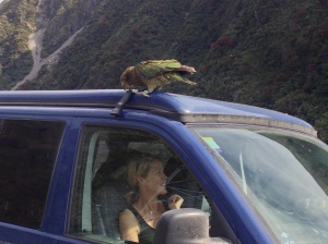 Kea eating Taranga